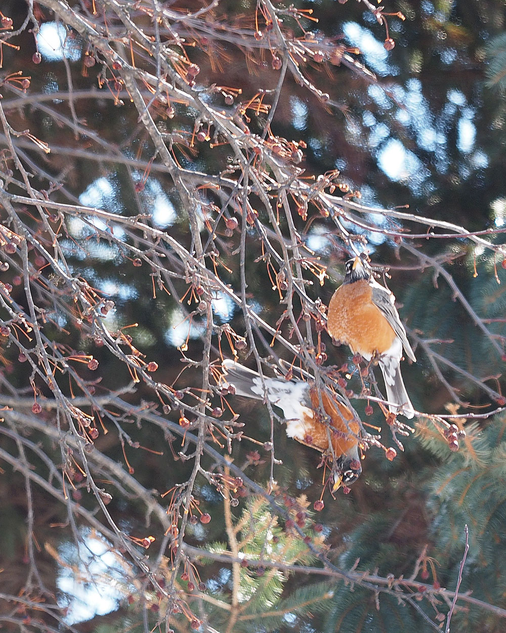 A feast for robins
