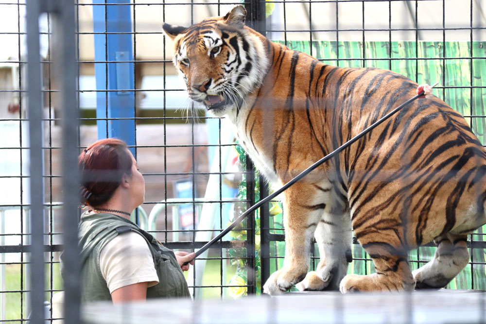 Bengal Tiger Encounter wows audience